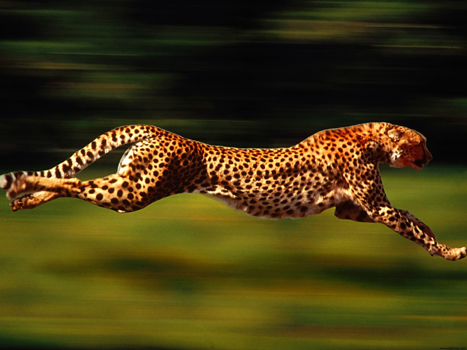 running cheetah wallpaper 29085 This causes you to drop fat AND makes you faster