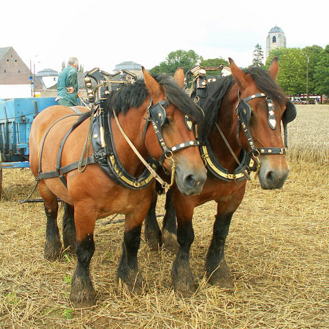 Who's your Belgian draft horse?