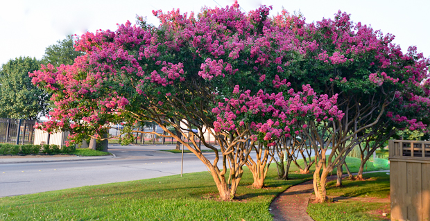 Lessons from a crepe myrtle (weird, but worth the read)